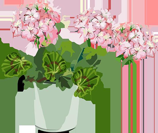 geraniumpieni